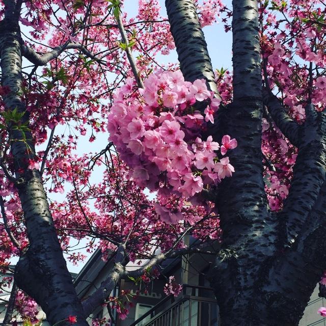 2017桜ピンク