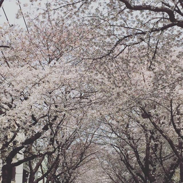 2017桜ソメイヨシノ